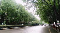 云岭东路的梧桐树