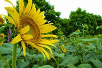 百万葵园里的向日葵
