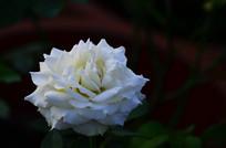 黑色背景白玫瑰