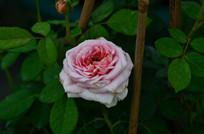 美丽的玫瑰花儿