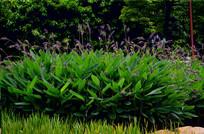 湿地植物芦花风景图片