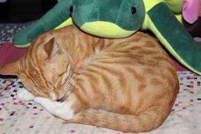 睡觉的小花猫