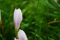 水仙花上的水珠