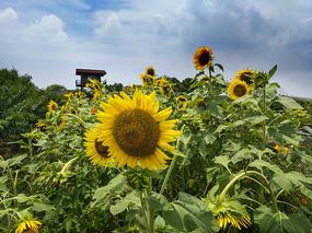 田园向日葵