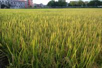 乡村水稻丰收