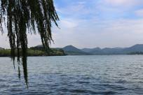 西湖杨柳图片