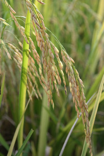 新会水稻超清图