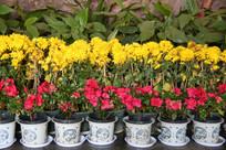 黄菊花和杜鹃花