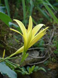 美丽的黄花菜花朵