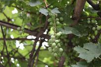 未成熟的葡萄