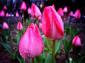 雨后郁金香