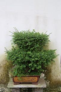 矮丛绿植盆景