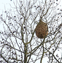 挂在树枝上的马蜂窝