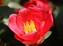 红色的山茶花