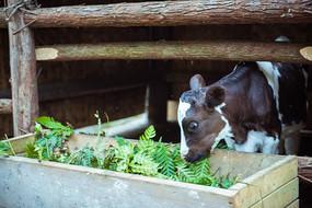 奶牛正在吃嫩草
