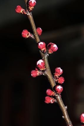 红色的花骨朵