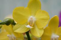 黄色蝴蝶兰特写