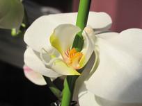 盛开的白色蝴蝶兰花朵特写