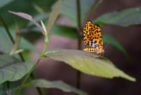 树叶上的蝴蝶