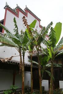 芭蕉树和飞檐墙