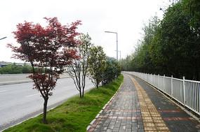 城市绿化和红枫树