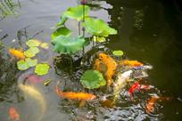陈云纪念馆外池塘荷花与鲤鱼