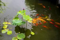 池塘荷花与鲤鱼