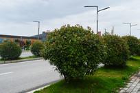 公路绿化植物