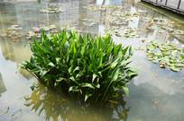 池塘里的水生植物