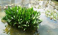 池塘里的植物
