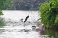 湖泊中的鹭鸟