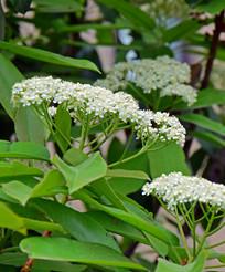 绿叶衬托的白色花朵