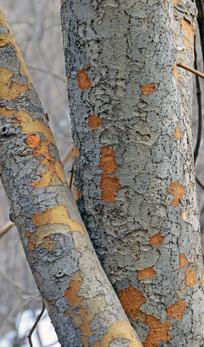 树干纹理背景