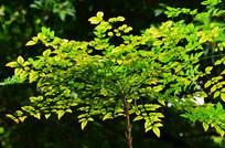 树木叶子图片