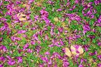 草丛里的紫荆花瓣