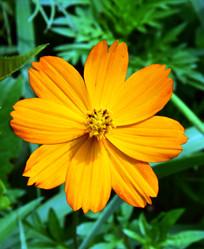 橙黄色的波斯菊