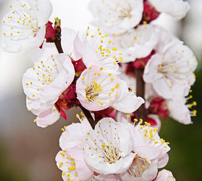 春季的杏树花束