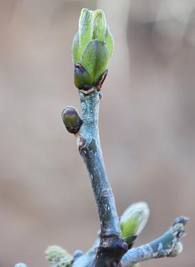 春天的核桃树