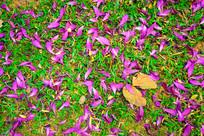 掉落在草丛的紫荆花瓣