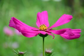 粉红波斯菊图片
