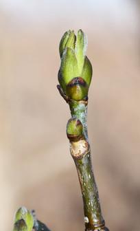 嫩绿的树芽