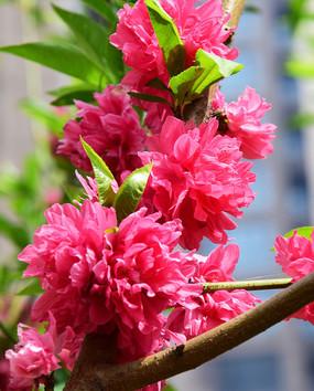 盛开的观赏桃花
