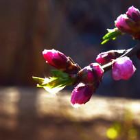 桃花上的露珠