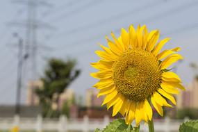 向阳花花开