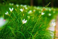 公园花圃的小白花
