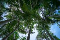 仰视竹子状的树木