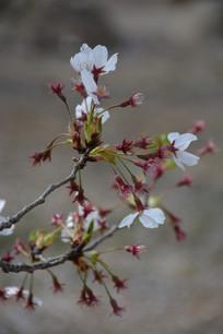 掉落花瓣的樱花花蕊