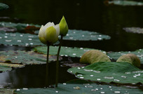 含苞的荷花花骨朵风景图片