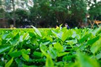 惠州南门公园的花圃大红花叶子