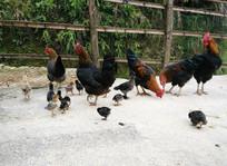 家里的土鸡在吃食